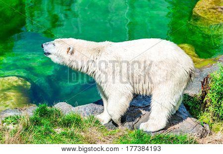 Vienna Austria. Polar Bear (Ursus maritimus) at Schoenbrunn Tiergarten zoo garden in Wien.