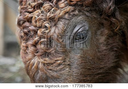 Close-up of the head of a bison (Bison bonasus)