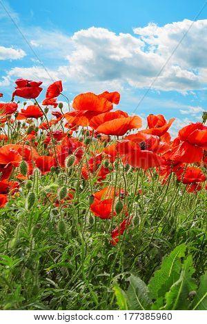 Red poppies on green field sky blue sky