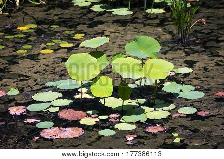 Leaves of a water lily on background of a duckweed on the swamp