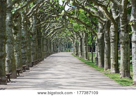Alley Of Sycamores In Frankfurt Am Main
