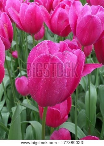 Bunch of Blooming Vivid Pink Tulip Flowers with the Raindrops of Spring Shower
