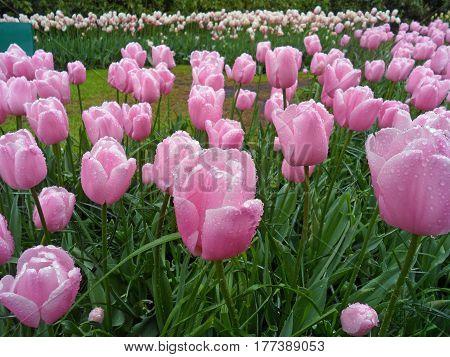 Blooming Pink Tulip Flowers in the Spring Shower, Keukenhof, Lisse, Netherlands