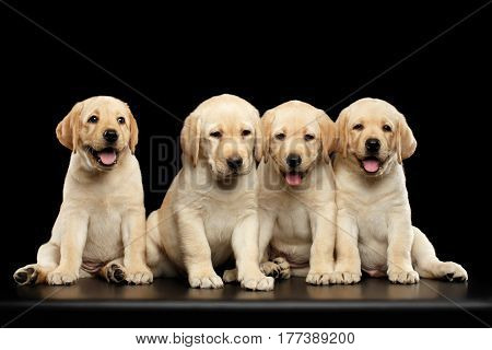 Four funny Golden Labrador Retriever puppies sitting isolated on black background, front view