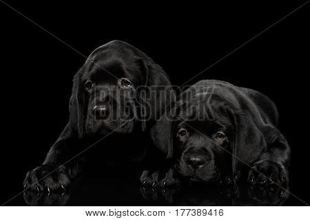 Two gorgeous labrador Retriever puppies lying isolated on black background, front view