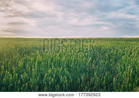 A field with green wheat lit by the side light of the sun. Focus on the foreground