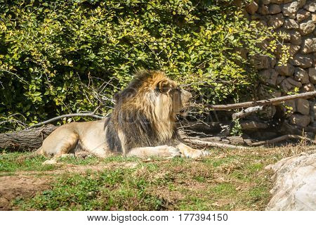 JERUSALEM, ISRAEL - JANUARY 23: The Asiatic Lion lying on grass in Biblical Zoo in Jerusalem, Israel on January 23, 2017