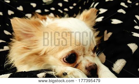 Sad puppy sleepy chihuahua dog laying on black blanket