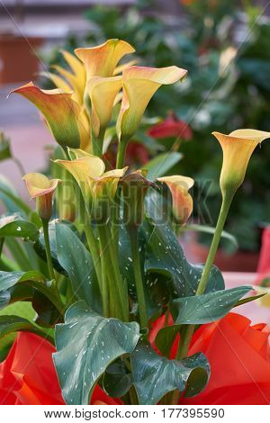 colored calla lily in the garden in spring