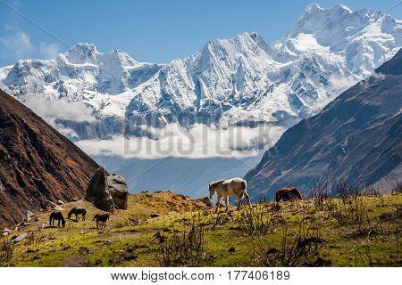 Trekker on Manaslu circuit trek in Nepal