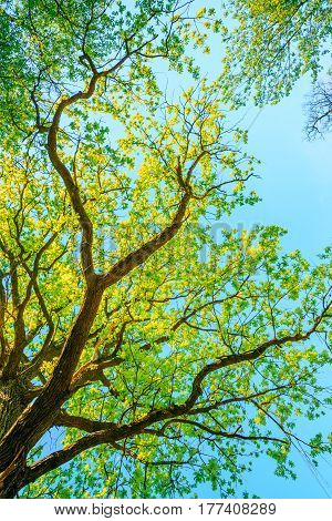 Canopy Of Oak Tree With Foliage In Spring Season. Deciduous Forest Summer Nature In Sunny Day. Upper Branches Of Tree. Woods Background.