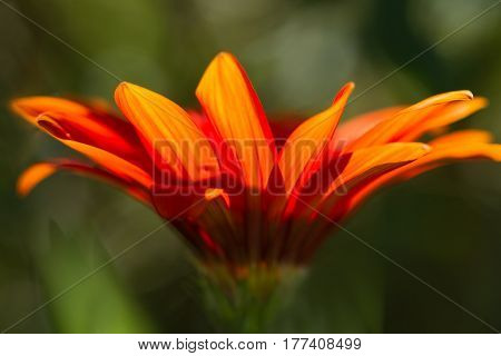 Gerbera orange flower close up on dark green background horizontal view
