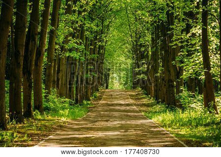 Walkway Lane Path With Green Trees in Forest. Beautiful Alley, road In Park. Way Through Summer Forest.