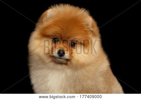 Portrait of cute miniature Pomeranian Spitz puppy looking in camera on black isolated background, front view