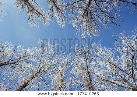 The Tops Of The Trees In The Snow. Frozen Snow On Trees. Frozen Trees On A Background Of Blue Cloudy