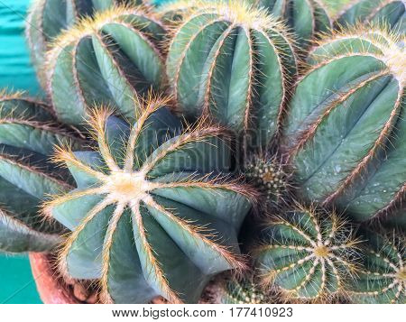 closeup cactus with yellow spines thorns leaves with stiff ends