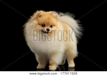 Groomed miniature Pomeranian red Spitz Dog standing on Isolated Black background, front view
