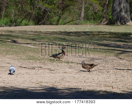 A pair of wood ducks come on land to feed. The males plumage is what makes this migratory duck so popular.