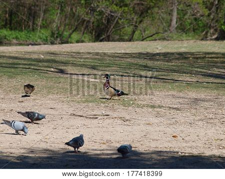 A pair of wood ducks that arrived a month ago feed on land with some pidgons.