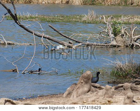 A shovel head duck with its spoon-shaped bill cruises near dead branches at the edge of a lake.