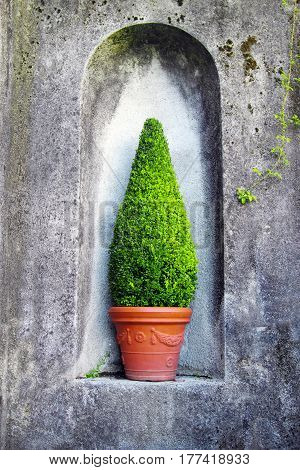 Cypress tree in the pot in the niche of grey stone wall. Garden decoration in Italy.
