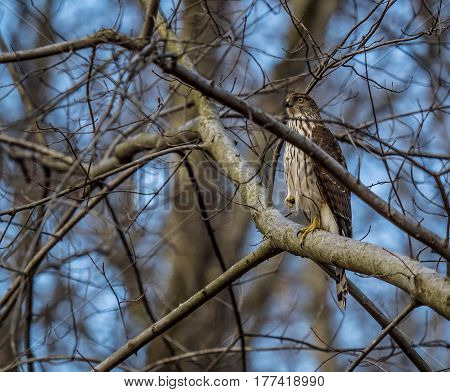 Young Cooper's Hawk perched among bare tree branches