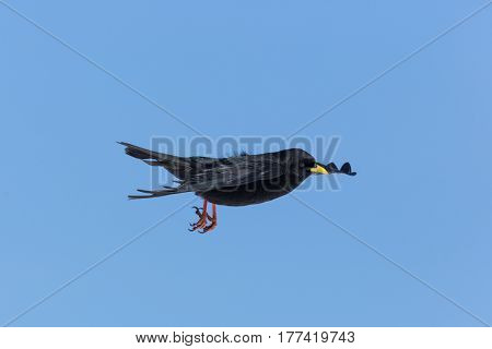 Portrait Of Flying Alpine Chough Bird (pyrrhocorax Graculus)