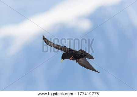 Silhouette Of Flying Alpine Chough Bird (pyrrhocorax Graculus)