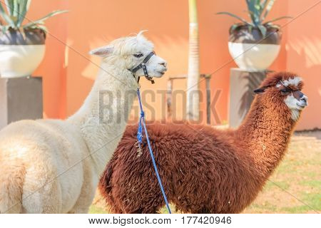 Portrait of alpacas with colorful decoration at zoo.