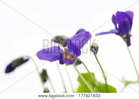 Violets on light background, macro shot, studio