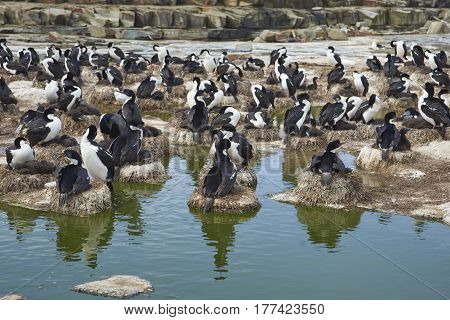 Colony of Imperial Shag (Phalacrocorax atriceps albiventer) with chicks on Sealion Island in the Falkland Islands
