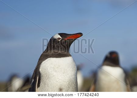 Gentoo Penguin (Pygoscelis papua) on Sealion Island in the Falkland Islands.