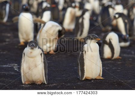Gentoo Penguin chicks (Pygoscelis papua) waiting for their parents to return and feed them. Sealion Island in the Falkland Islands.