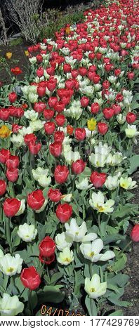 red and white tulips multiple numerous springtime