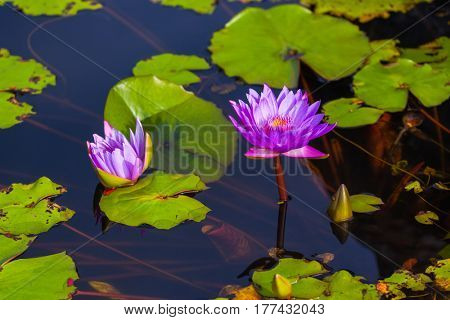 Lotus lilly flower - nature background