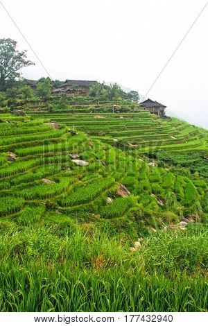 classic rice field in china