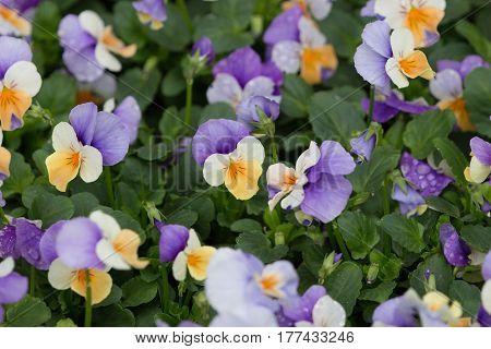 Viola Tricolor In The Garden