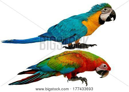 Colorful parrots as male blue and yellow macaw parrot with red and blue macaw parrot isolated on white background.