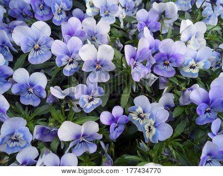 Bunch of violet Pansy, Viola flowers blooming in spring of The Netherlands