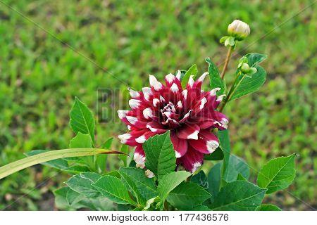 Dahlia Duet Flower