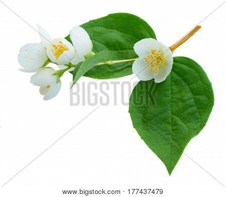 Jasmine fresh flowers and leaves twig macro isolated on white background