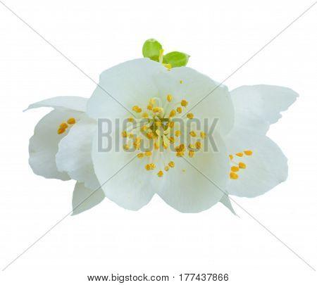 Jasmine fresh flowers isolated on white background