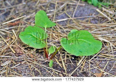 Rhubarb (rheum Rhabarbarum) Victoria Young Seedling