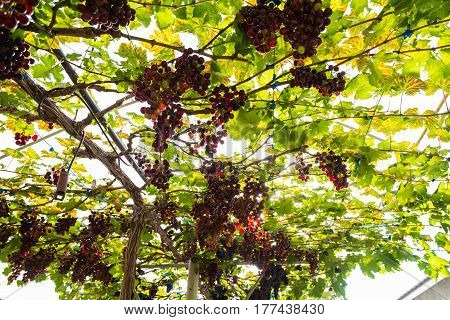 Red Grape Bush With Sun Light On Vineyard