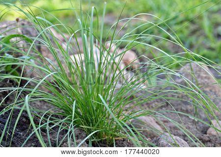 Deschampsia Cespitosa In The Garden