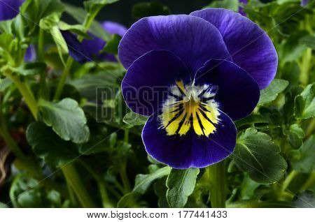 Viola Flower Close Up