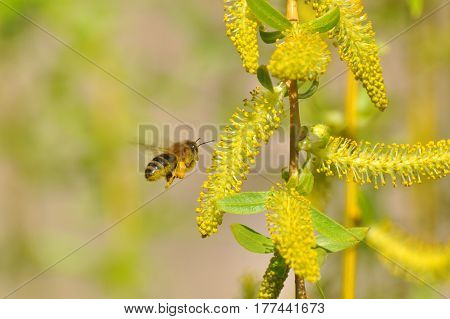 Honey bee collecting nectar on yellow flower, Honey Bee pollinating wild flower, Honey bee flying