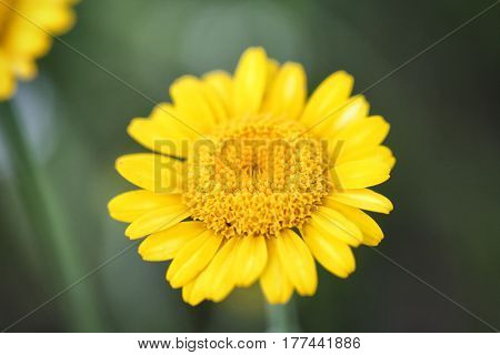 Anthemis Tinctoria (cota Tinctoria Or Golden Marguerite, Yellow Chamomile)