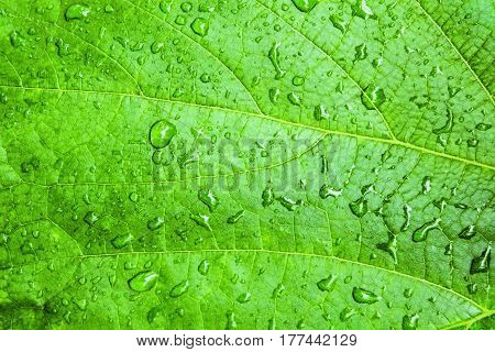 Water drops on green grape leaves. Natural background of fresh green leaf closeup.