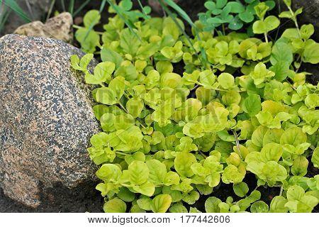 Lysimachia Nummularia (creeping Jenny, Moneywort)